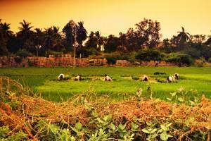 25 luglio, mondine al lavoro nelle risaie, Anegundi